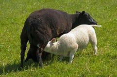 Grand agneau buvant des moutons de mère Photos libres de droits