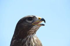 Grand aigle sur un rapace Photo libre de droits