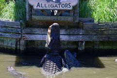 Grand alligator Photos libres de droits