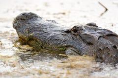 Grand alligator américain dans l'eau Photographie stock