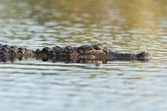 Grand alligator américain dans l'eau Image libre de droits