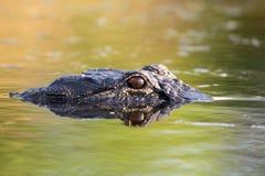 Grand alligator américain dans l'eau Images libres de droits