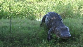 Grand alligator marchant au canal banque de vidéos