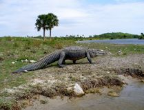 Grand alligator marchant sur une berge Image stock