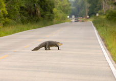 Grand alligator sur la route Photographie stock