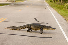 Grand alligator traversant la route Photos stock
