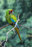 Grand ara vert - Ara Ambiguus Photos stock