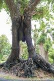 Grand arbre à vendre Photos stock