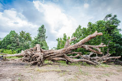Grand arbre à vendre Images libres de droits