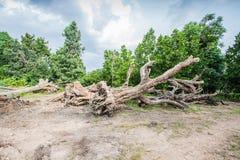 Grand arbre à vendre Image libre de droits