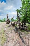 Grand arbre à vendre Photo libre de droits