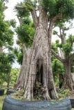 Grand arbre à vendre Image stock