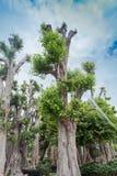 Grand arbre à vendre Photographie stock libre de droits