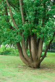 Grand arbre Photo libre de droits