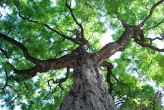 Grand arbre Images libres de droits