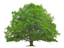 grand arbre Image stock
