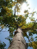 Grand arbre après jaune de floraison Photographie stock libre de droits