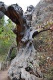 Grand arbre au sentier de randonnée au canyon célèbre Barranco del Infierno à Adeje dans les sud de Ténérife, l'Europe photographie stock libre de droits