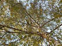 Grand arbre avec des pigeons Photo libre de droits