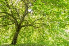 Grand arbre avec la couverture verte massive de feuille Images libres de droits