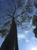 Grand arbre avec sa grandeur par son fond photographie stock libre de droits