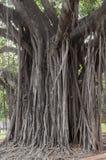 Grand arbre centennal avec les racines aériennes énormes Image libre de droits