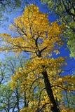 Grand arbre d'automne en stationnement d'automne Image libre de droits