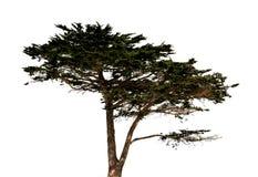 Grand arbre d'isolement Images libres de droits