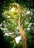 Grand arbre dans la forêt Photo libre de droits