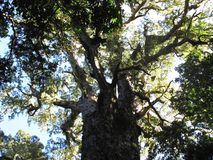 Grand arbre dans la forêt africaine indigène, Hogsback Photographie stock libre de droits