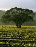 Grand arbre dans la vigne image libre de droits