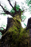 Grand arbre dans les avants Photos libres de droits