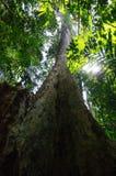 Grand arbre dans Pha Hin Koob, Khau Soi Daw, Chanthaburi, Thaïlande Photos stock