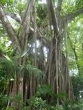 Grand arbre de banian Image libre de droits
