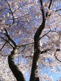 Grand arbre de fleur de cerise Image libre de droits