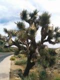 Grand arbre de Joshua tordu fleurissant avec des cosses Photos libres de droits