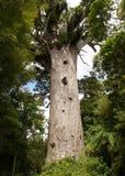 Grand arbre de kauri Image libre de droits