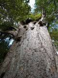 Grand arbre de kauri Photo stock