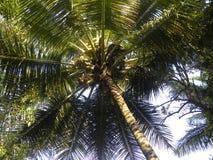 Grand arbre de noix de coco avec les fruits non mûrs de noix de coco Photos stock