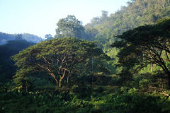 Grand arbre de pluie dans la forêt tropicale, Chiang Mai, Thaïlande Image stock
