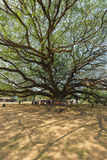 Grand arbre de saman de Samanea Image stock