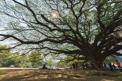 Grand arbre de saman de Samanea Photos libres de droits