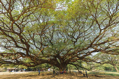 Grand arbre de saman de Samanea Photo stock