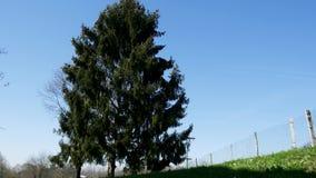 Grand arbre de sapin avec un ciel bleu banque de vidéos