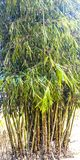 Grand arbre en bambou photos stock
