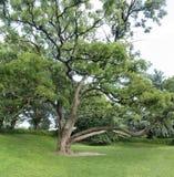 Grand arbre en parc public avec l'herbe de pelouse image stock