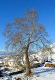 Grand arbre simple dans la neige d'hiver Photos libres de droits