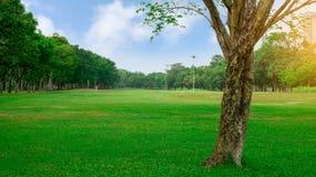 Grand arbre sur cour douce fraîche de pelouse d'herbe verte la grande, bons lanscapes d'entretien dans le jardin apublic de parc  image stock