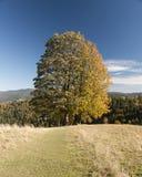 Grand arbre sur le ciel bleu pendant l'automne Images stock