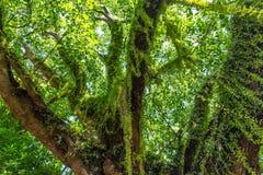 Grand arbre vert avec des mauvaises herbes d'arbre Photos libres de droits